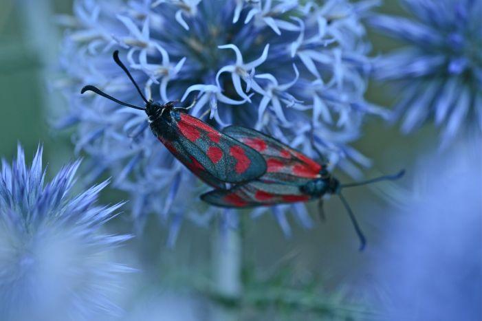 La Zygène de la millefeuille est un lépidoptère de la famille des zygénidés, des papillons de nuit actifs dans la journée. Il existe plus de 26 espèces de zygène en France, dont certaines sont menacées. Elles sont en général colorées de rouge, mais certaines sont vert métalliques.