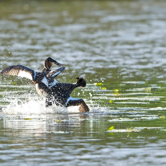Les grèbes huppés sont des oiseaux aquatiques très élégants, relativement abondants en France, et connus pour leur comportement sexuel et parental particulièrement intéressant. Durant la saison de la reproduction, les combats entre mâles peuvent être féroces (sans doute une affaire de testostérone).