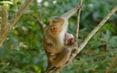 Femelle macaque et son petit (O. Kah)