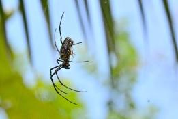 Cette photo montre l'extraordinaire différence de taille entre la femelle énorme et le mâle tout petit. Sur cette photo, on le voit chercher les orifices génitaux de la femelle.