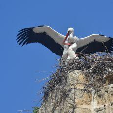 White stork (Ciconia ciconia) in copula (Alcala de los Gazules, Spain)